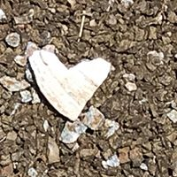 shell shaped like a heart
